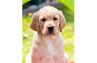 Picture of Buddy, Our Guide Dog Sponsorship